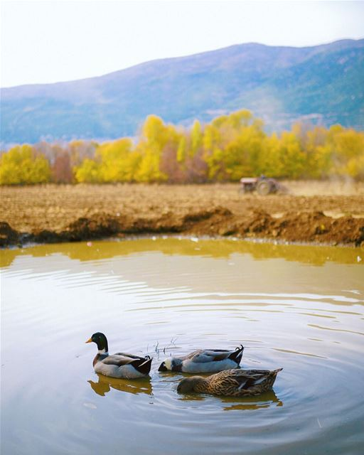 Another snorkeling day for these ducks🦆👀 (Beqaa Valley)