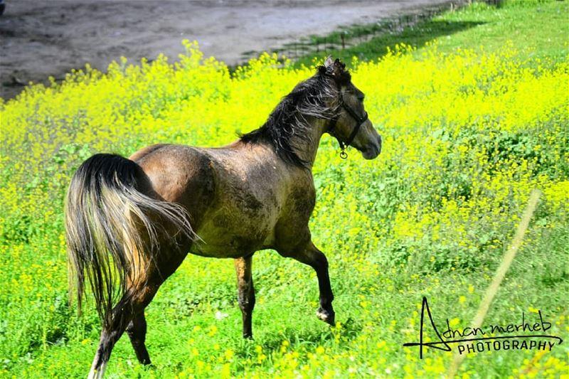 horses horse horsesofinstagram bitemykitchen PleaseForgiveMe ... (Biré, Liban-Nord, Lebanon)