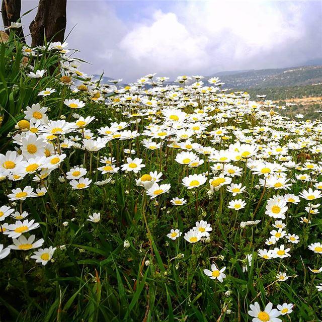 finally a bit of spring 😍😍 chamaemelumnobile daisy daisies flowers ...