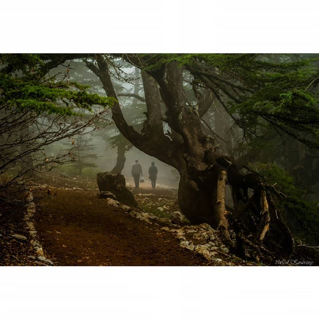 lebanon cedar trees landscape mist reserve path tree nature ... (Arz el Bâroûk)