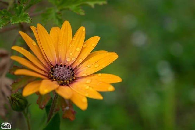 مساءكم ورد 🌹 flower orangeflower garden flowers nature lebanon ...