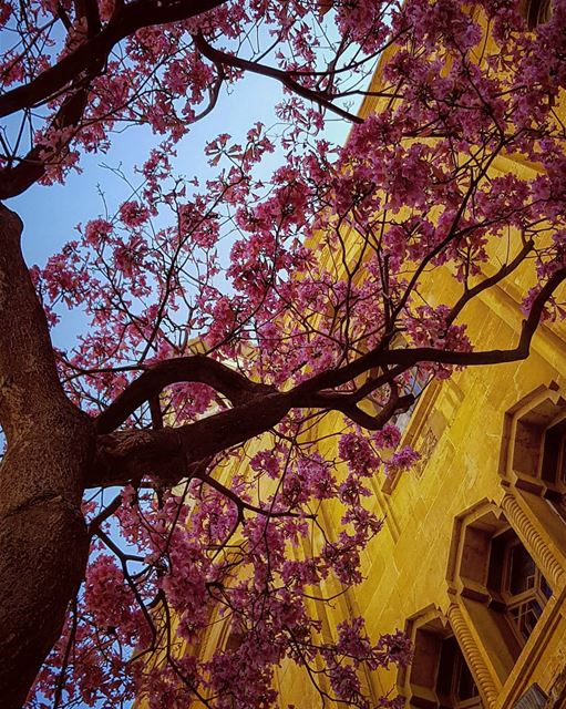 No one passed by these trees without taking a shot.. 📸Yet,, Nature never... (Downtown Beirut)