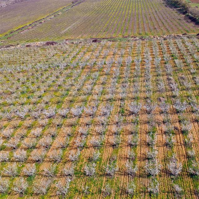 "Say ""Trees"" spring trees ammiq bekaa lebanon landscape symmetry ... (`Ammiq, Béqaa, Lebanon)"