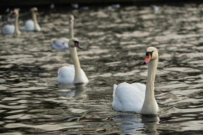 The fleet ...shot in uk london hydepark swan bird nature ...