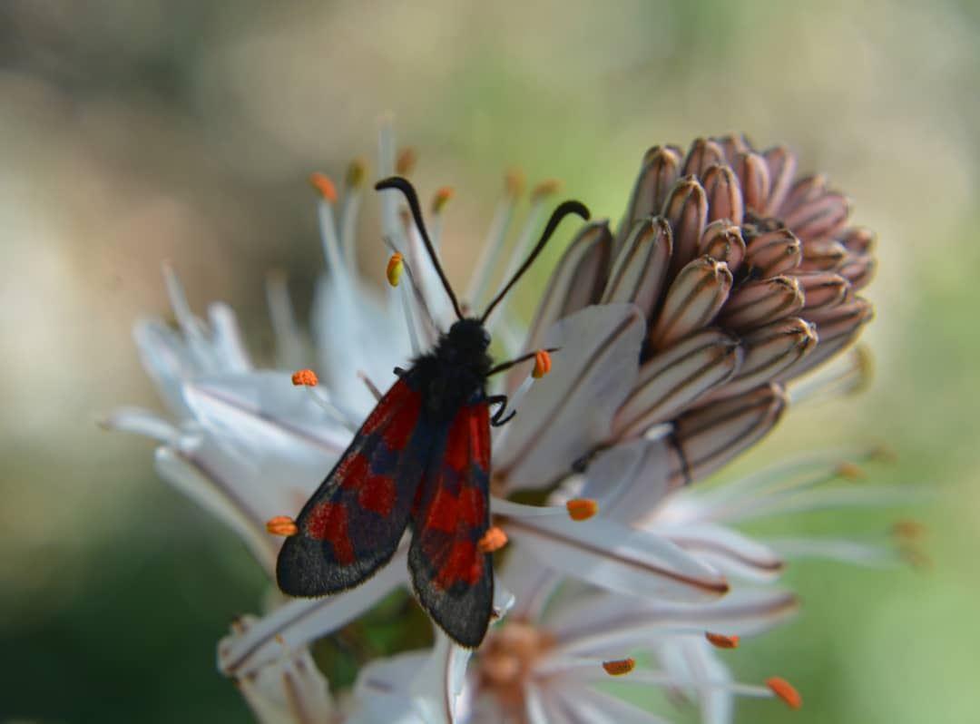 Kiss the flower Red butterfly! ❤❤ macro_brilliance macro globalcapture ... (Kasrouane)