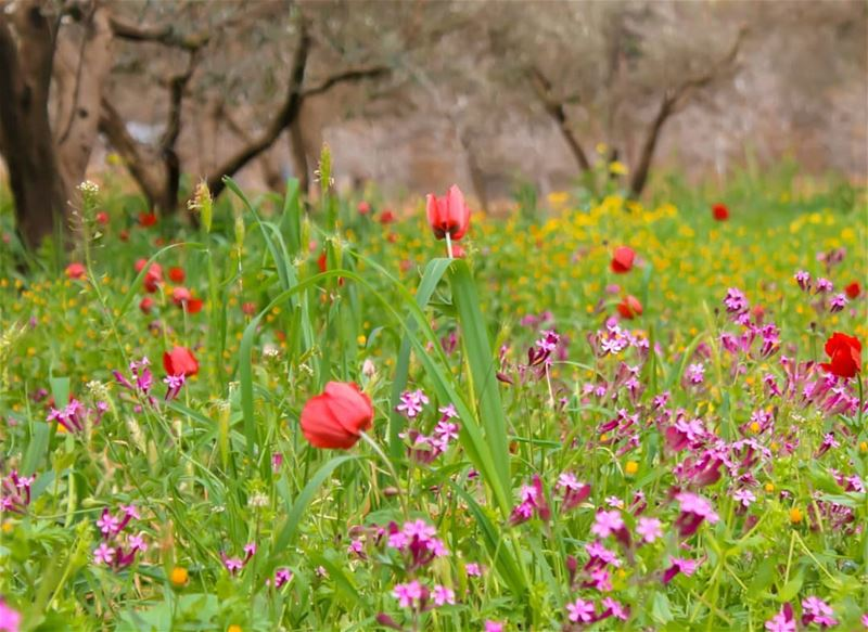 Morningg 🥀🍃⚘☘🌷 .ربيع بينو ❣ ضيعة ربيع الكروم... lebanon ... (Beïno, Liban-Nord, Lebanon)