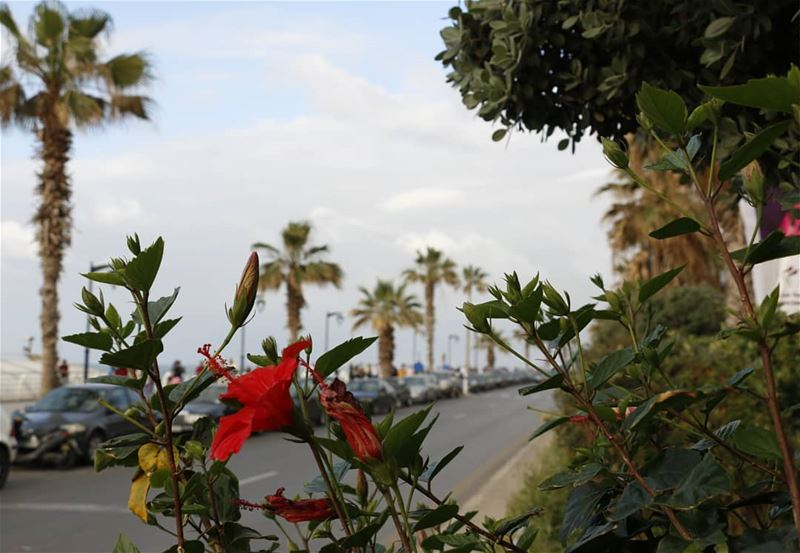 Spring is everywhere in Beirut...Yellow, red, pink and other blossoms are... (Manara Beyrouth)