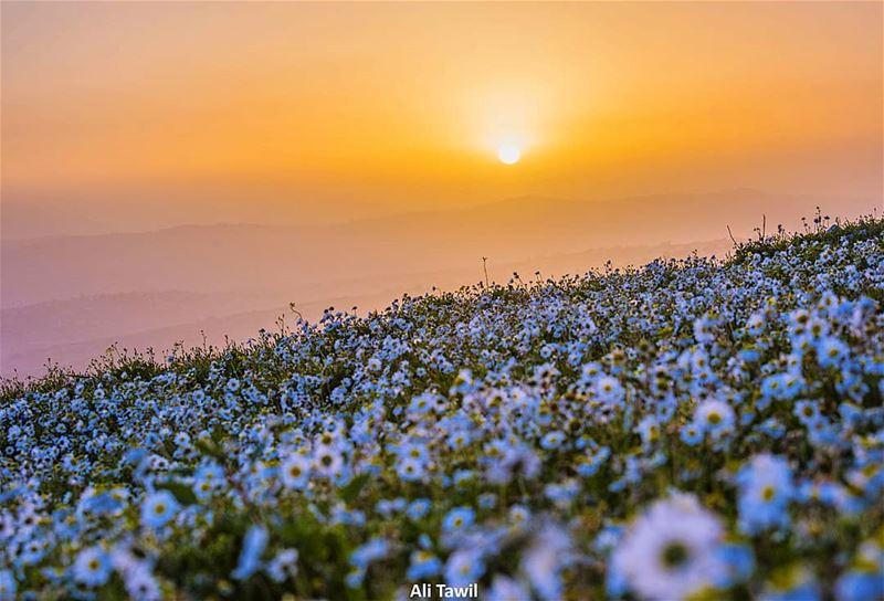 عندما تُشرِقُ الشمسُ جنوباً💛🌼 landscape sunrise flowers nature ... (Es Soultânîyé, Al Janub, Lebanon)