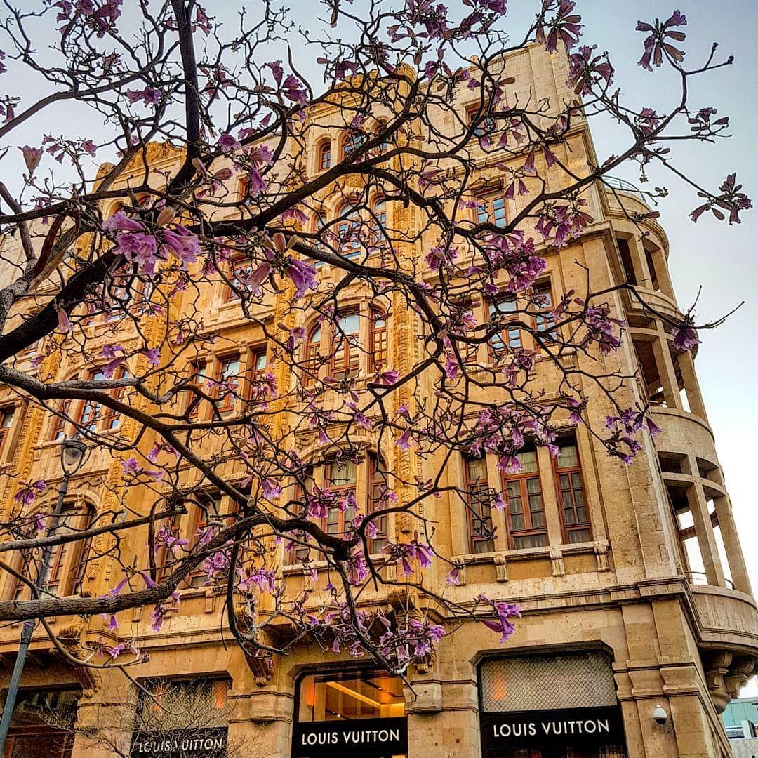 Spring Is Here The Jacaranda Flowers Are Out Jacaranda Tree