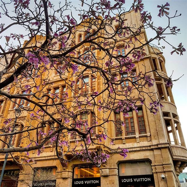 Spring is here...the jacaranda flowers are out!.. jacaranda  tree ... (Beirut, Lebanon)