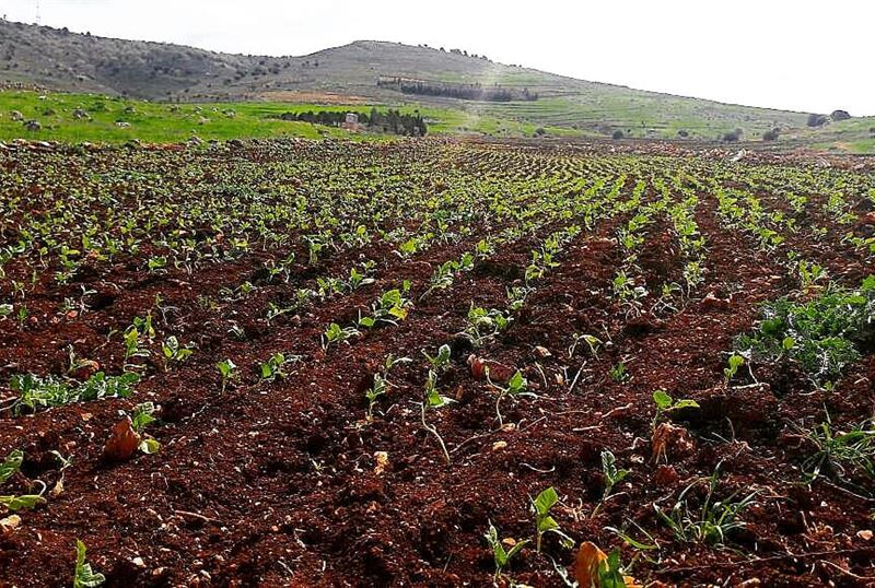 yaroun yarounday tobacco planting morning hardwork southlebanon ...