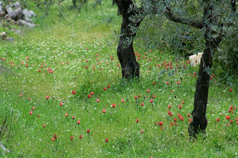 hardin lebanon spring wildflowers nature naturephotography natureza ... (Hardîne, Liban-Nord, Lebanon)