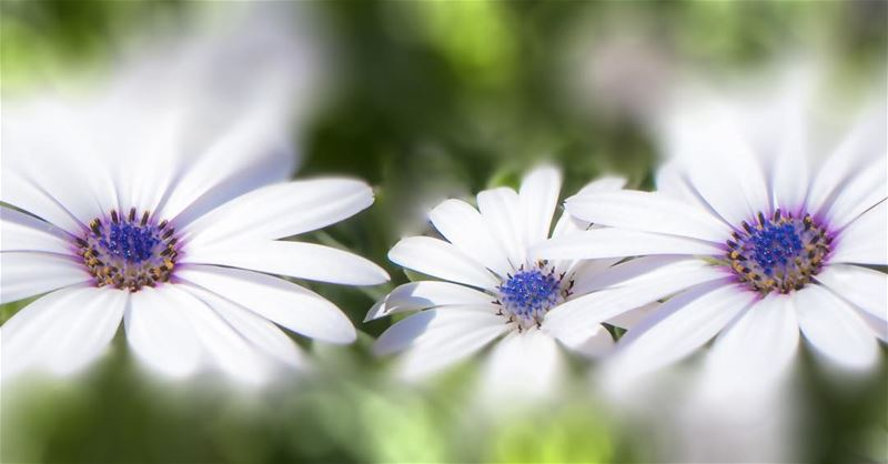 lebanon amazinglebanonnature flower photography instaflowers instanature...