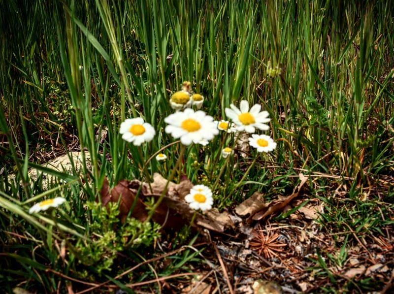 spring .... lovely weather lebanon hrajel nature margueritte ...