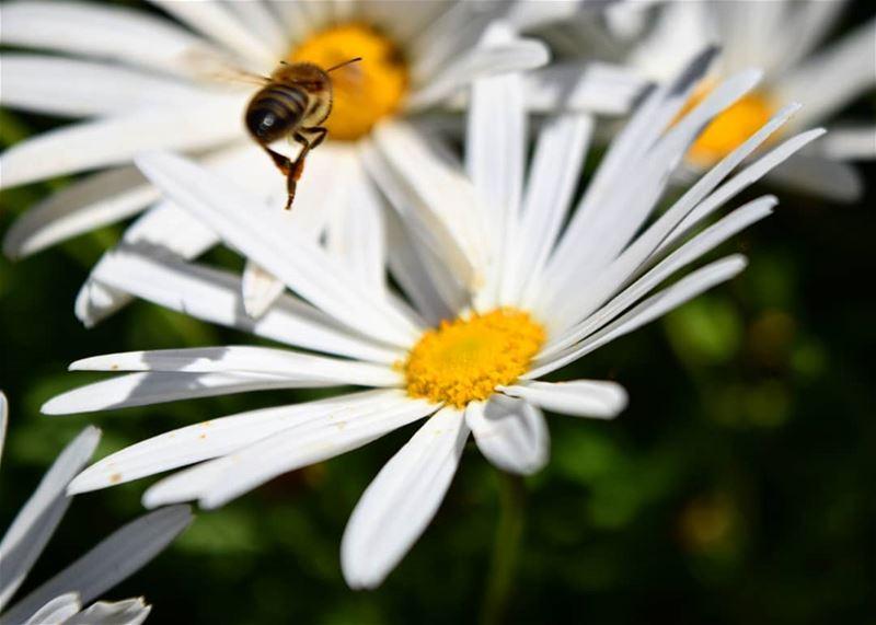 have a beeyoutiful morning 🌸 flower bee spring closeup macro ...