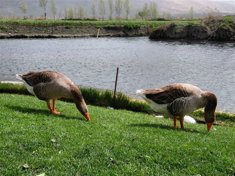 Ducks 🐦🐦 lake nature lebanon walk relax vacation landscape ... (Barr Eliâs, Béqaa, Lebanon)
