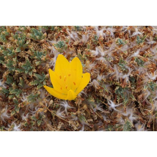 ehden lebanon flower beautifullebanon ig_lebanon nature ...