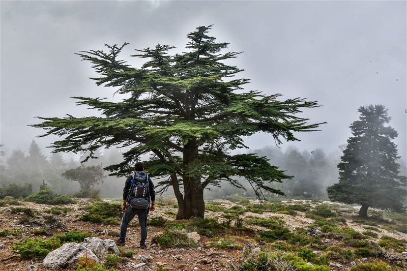 The voice of the LORD breaketh the cedars; yea, the LORD breaketh the... (El Qammoûaa)