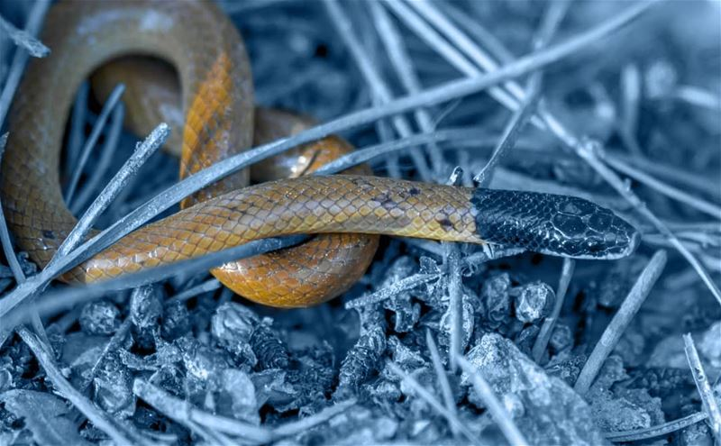 snake black black_head_snake hasbaya southlebanon lebanon photography...