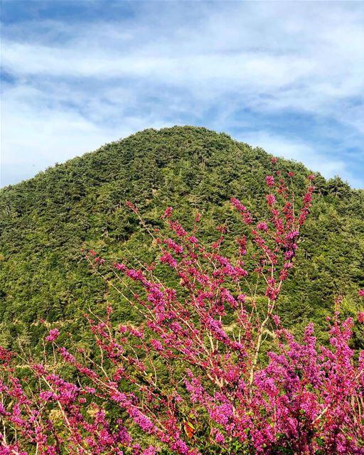 Who can name this tree? bkerzay lebanon liban libano livelovebeirut ... (Bkerzay)