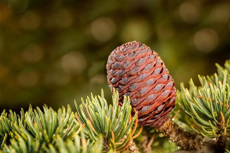 cedar tree cedartree lebanon shouf reserve naturalreserve canon ... (Al Shouf Cedar Nature Reserve)
