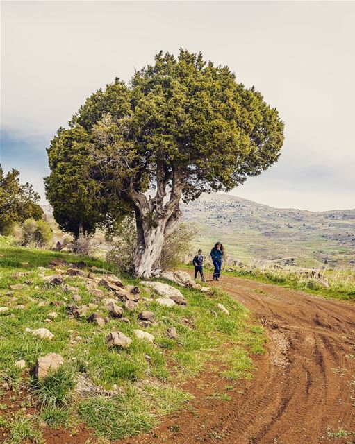 The Juniper tree.____________________________________________________... (Lebanon)