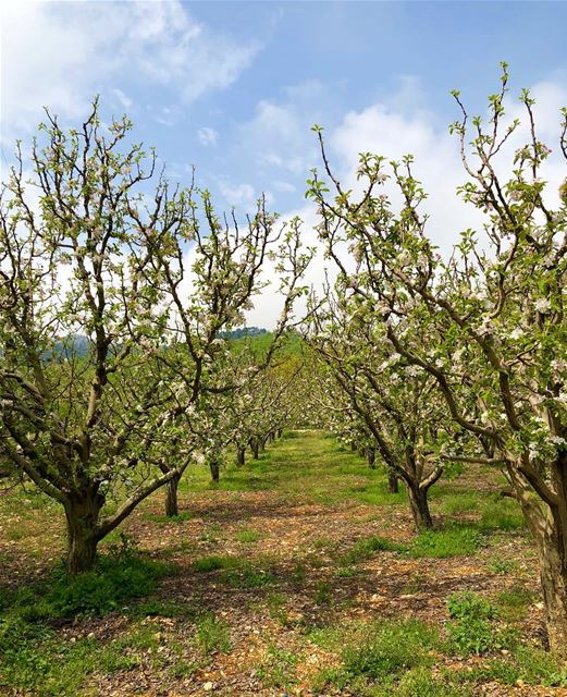 زهّر التفاح 🌸 blooms appletree peaceful naturephotography ... (Jezzîne, Al Janub, Lebanon)