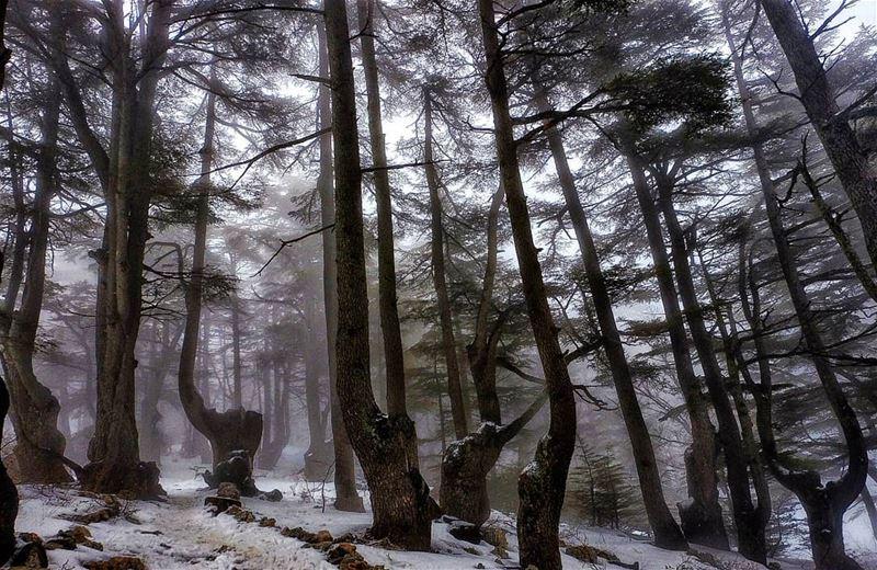 lebanon cedar trees national reserve lebanese pride instagood ...