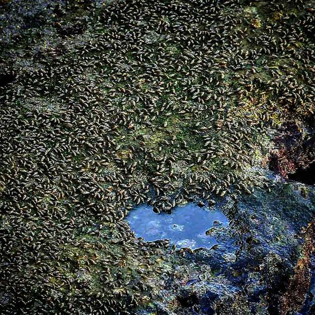 Baby crabs and their heart-shaped salt lake - ichalhoub in Batroun north...