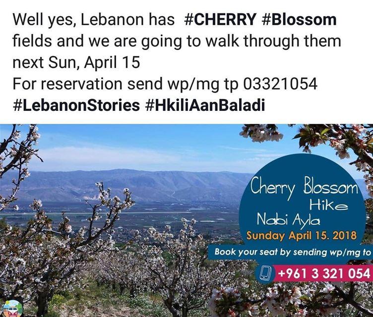 cherryblossom cherry nabiayla spring blossom HkiliAanBaladi ...