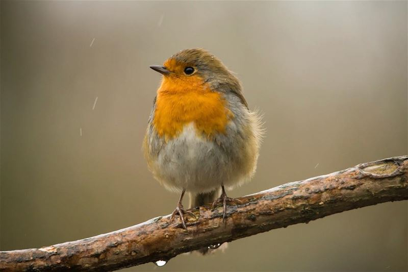 Fighting the rain for a grain...shot in london uk hydepark bird ...