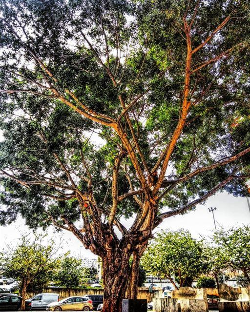 🌳•••••Follow me for more shots 👉 @tamig.m lebanon tree trees... (Beirut, Lebanon)