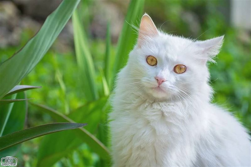 Good morning 😸✋ cat animal garden lebanon white green ... (Hoûmîne El Faouqa, Al Janub, Lebanon)