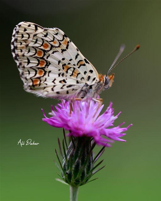 And another beautiful butterfly 🦋.... butterfly butterflies nature... (Kafarroman)