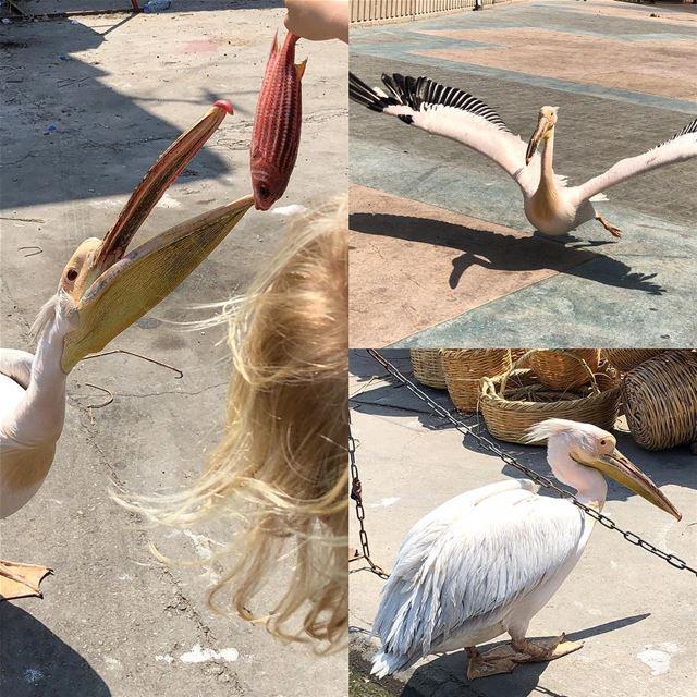 Not that simple to give a pelican a treat! Saida's mascot pelican, Karkar.... (Saïda, Al Janub, Lebanon)