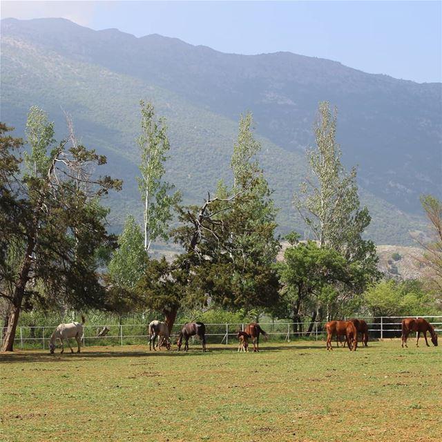 Horses make a landscape look beautiful... amateurphotography... (Bekaa Valley)