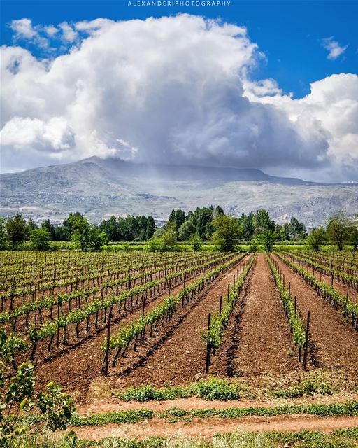 The beautiful vineyards of Taanayel, Bekaa 22-4-2018 . spring nature ... (Deïr Taanâyel, Béqaa, Lebanon)