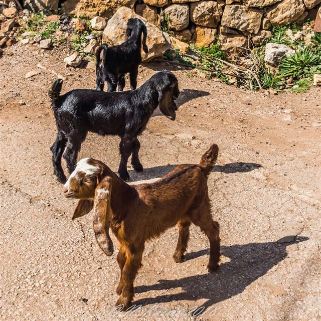 goat  pet  baby  portrait  portrait_perfection  bd_shotz ... (Baskinta, Lebanon)