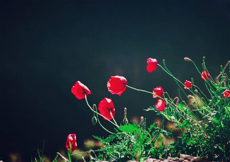 The poppy opes her scarlet purse of dreams lebanon annaharnewspaper ... (`Akkar, Liban-Nord, Lebanon)