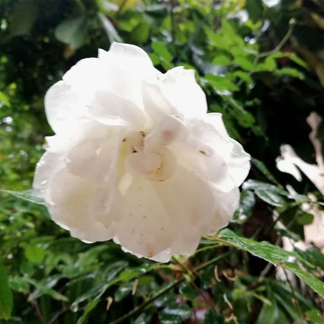 thismorning flower whiterose raindrops ...