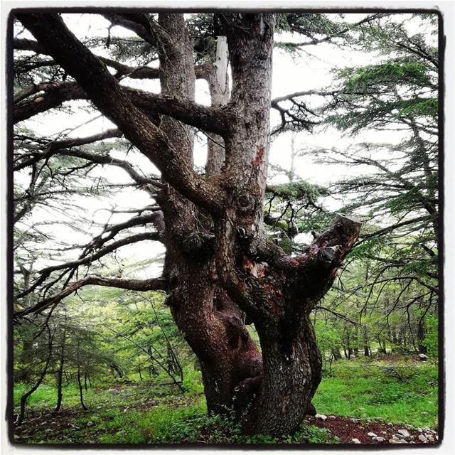 Magestic cedars tourleb tourlebanon lebanoninstagram lebanon🇱🇧 ... (Al Shouf Cedar Nature Reserve)