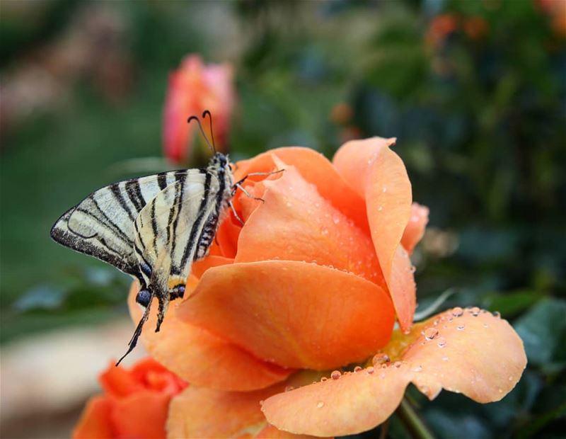 سلام على الذين يزهرون القلوب إذا نزلوا بها.... كأنهم في بقاع القلب أمطارا..