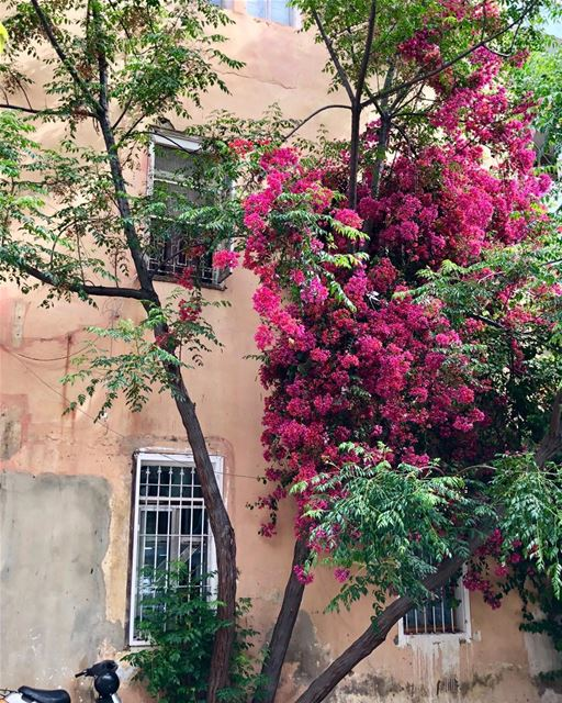 Glimpses of Beirut. mycity beirut capital bougainvillea ...