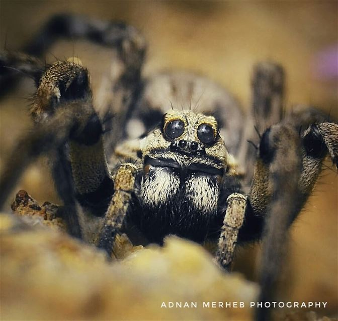 wolf_spider❤❤ insects insect bug bugs envywear bugslife macro ... (Mechmech_Akkar)