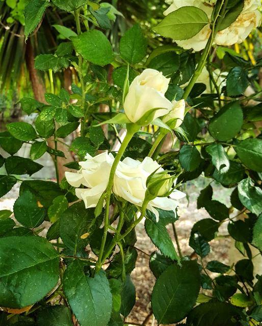 blossom rose whiteroses lebanoninapicture ptk_lebanon livelovebeirut...