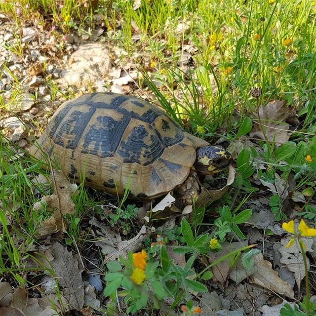 Wassup turtle wildturtle nature lebanesewildlife ... (Ghbalé, Mont-Liban, Lebanon)