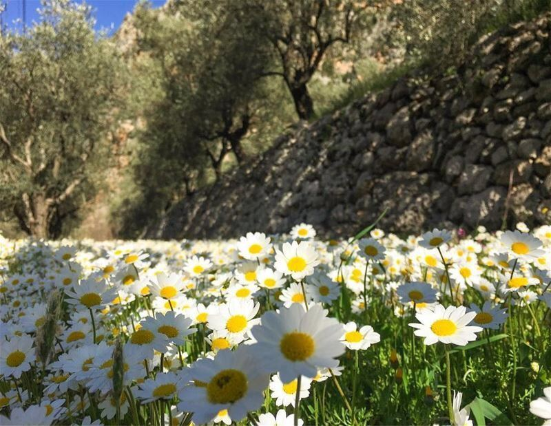 lebanon spring livelovelebanon nature daisies naturephotography ...