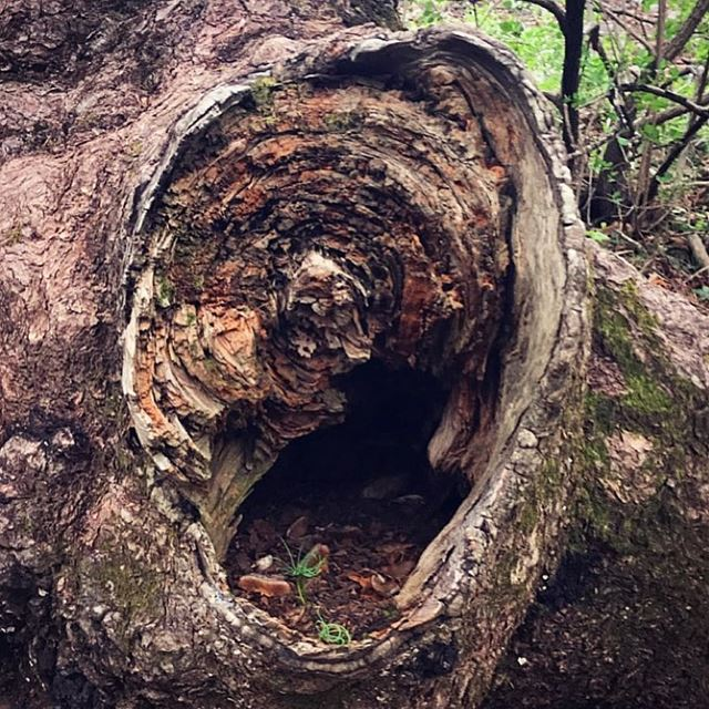 ~..Embrace Life..~🐛 Baby Cedars in a tree trunk🌲🇱🇧 treetrunk tree ...