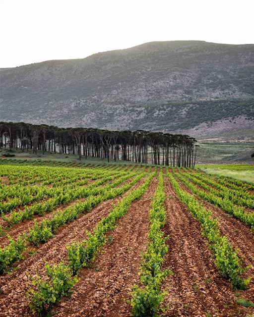 The beautiful vineyards of Bekaa livelovebekaa _________________________... (West Bekaa)