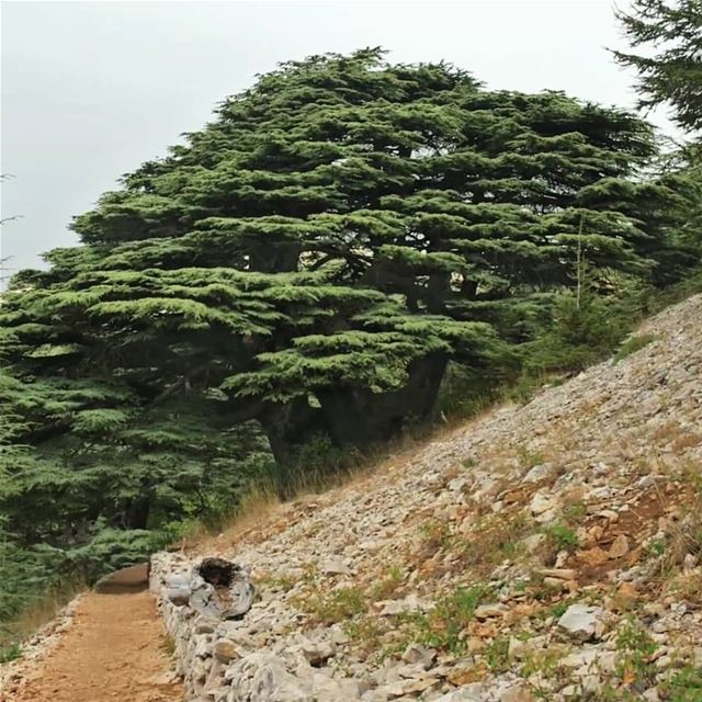 The trees of God are watered abundantly, The Cedars of Lebanon that he... (Al Shouf Cedar Nature Reserve)